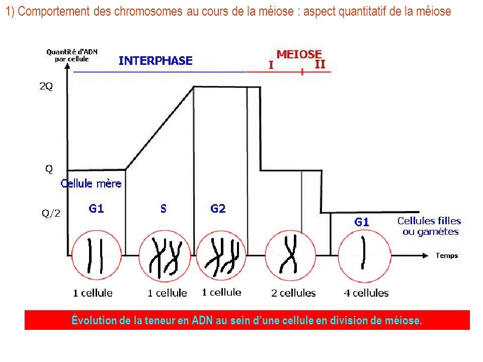 1) Comportement des chromosomes au cours de la méiose : aspect quantitatif de la méiose métaphase 1 anaphase 1 télophase 1anaphase 2 Évolution de la t