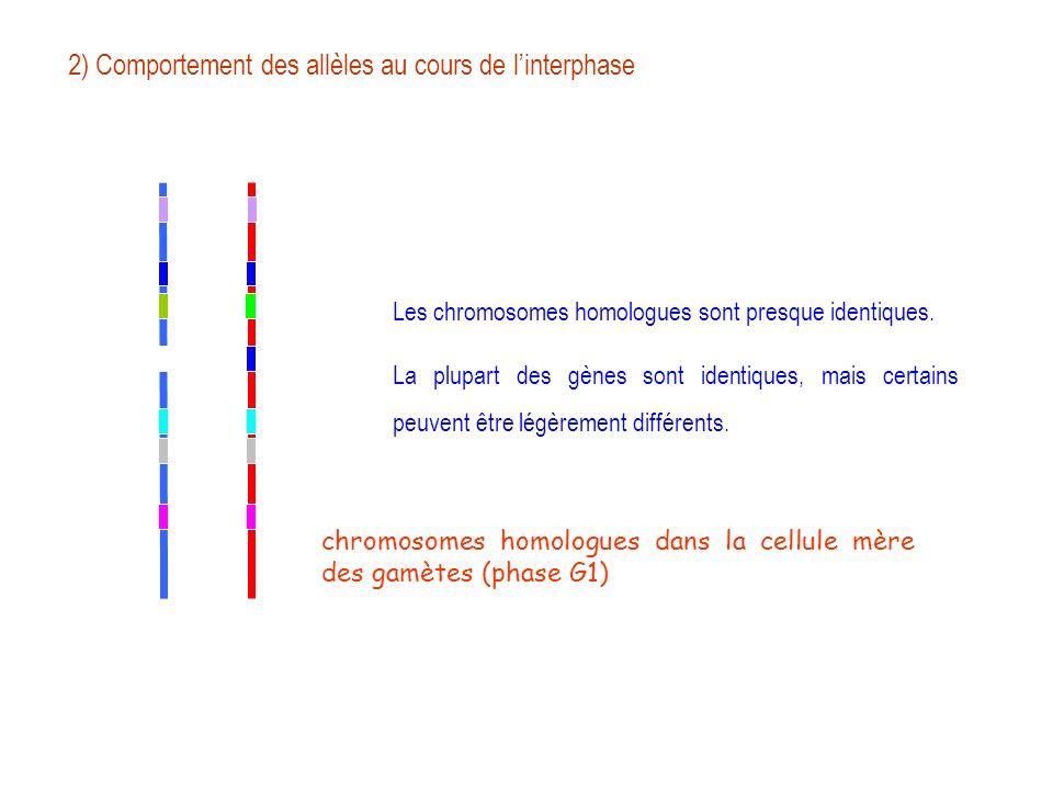 chromosomes homologues dans la cellule mère des gamètes (phase G1) Les chromosomes homologues sont presque identiques. La plupart des gènes sont ident