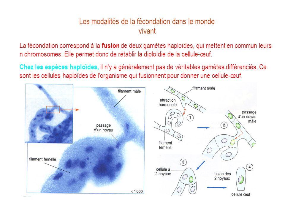 Les modalités de la fécondation dans le monde vivant La fécondation correspond à la fusion de deux gamètes haploïdes, qui mettent en commun leurs n ch