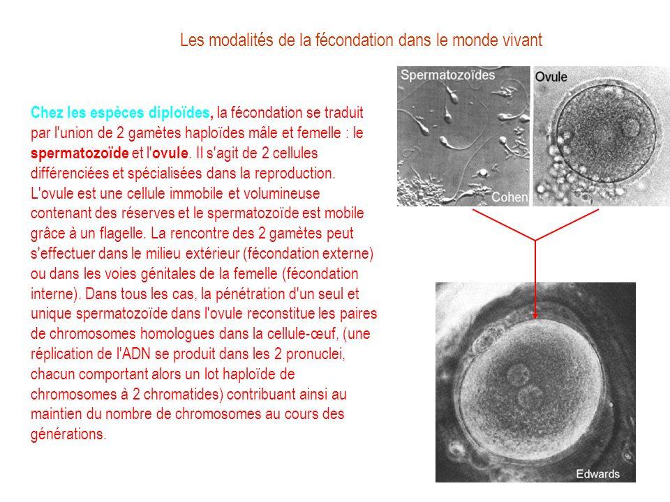 Les modalités de la fécondation dans le monde vivant Chez les espèces diploïdes, la fécondation se traduit par l'union de 2 gamètes haploïdes mâle et