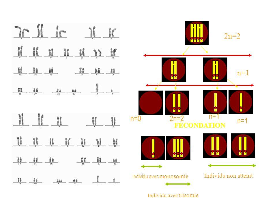 FECONDATION Individu non atteint Individu avec monosomie Individu avec trisomie 2n=2 n=1 2n=2n=0 n=1