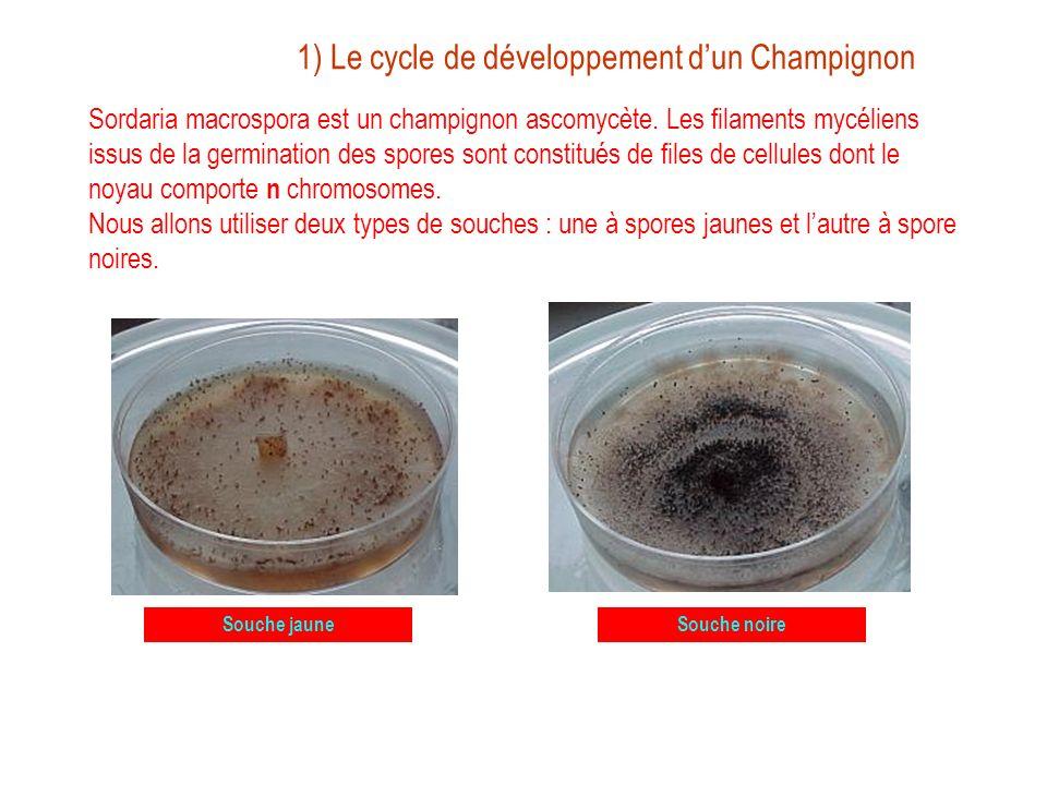 Le cycle de développement dun Champignon Comme tous les champignons filamenteux, Sordaria est constitué dun mycélium qui sont des alignements de cellules ou articles.