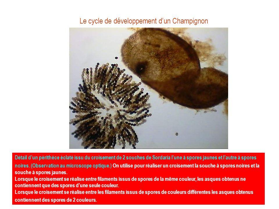 Le cycle de développement dun Champignon Détail dun périthèce éclaté issu du croisement de 2 souches de Sordaria lune à spores jaunes et lautre à spor
