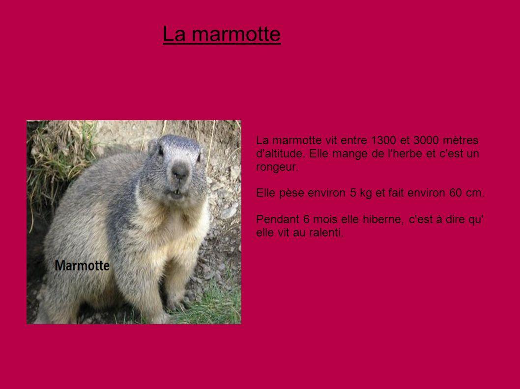 La marmotte vit entre 1300 et 3000 mètres d'altitude. Elle mange de l'herbe et c'est un rongeur. Elle pèse environ 5 kg et fait environ 60 cm. Pendant