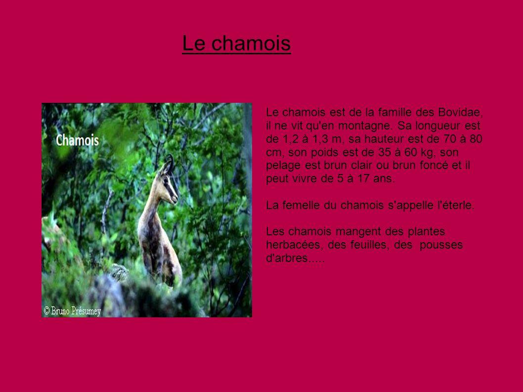 Le chamois Le chamois est de la famille des Bovidae, il ne vit qu'en montagne. Sa longueur est de 1,2 à 1,3 m, sa hauteur est de 70 à 80 cm, son poids