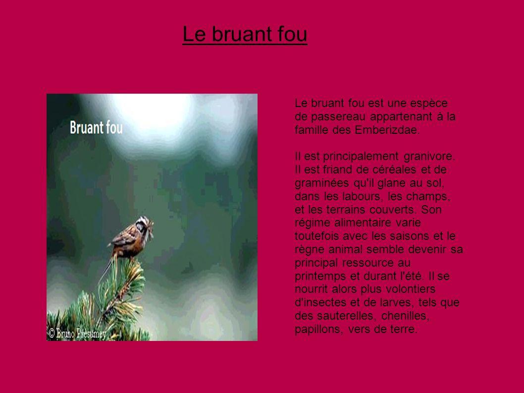 Le bruant fou Le bruant fou est une espèce de passereau appartenant à la famille des Emberizdae. Il est principalement granivore. Il est friand de cér