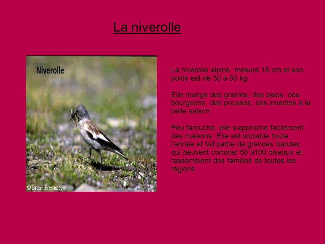 La niverolle La niverolle alpine mesure 18 cm et son poids est de 30 à 50 kg. Elle mange des graines, des baies, des bourgeons, des pousses, des insec