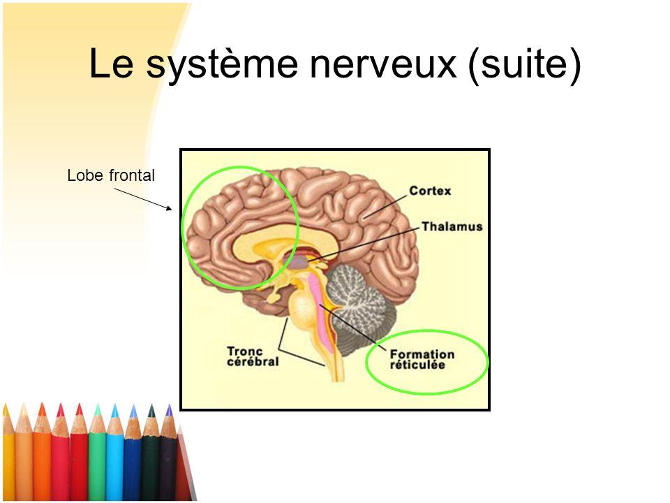 Le système nerveux (suite) Lobe frontal