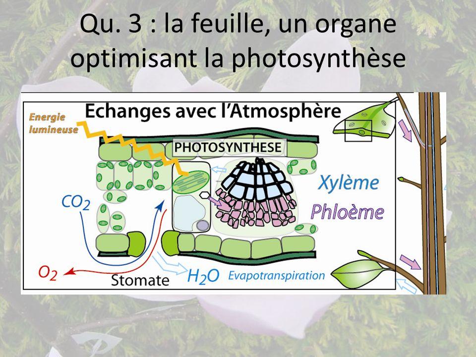Qu. 3 : la feuille, un organe optimisant la photosynthèse