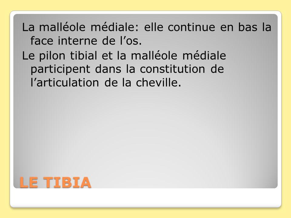LE TIBIA La malléole médiale: elle continue en bas la face interne de los. Le pilon tibial et la malléole médiale participent dans la constitution de
