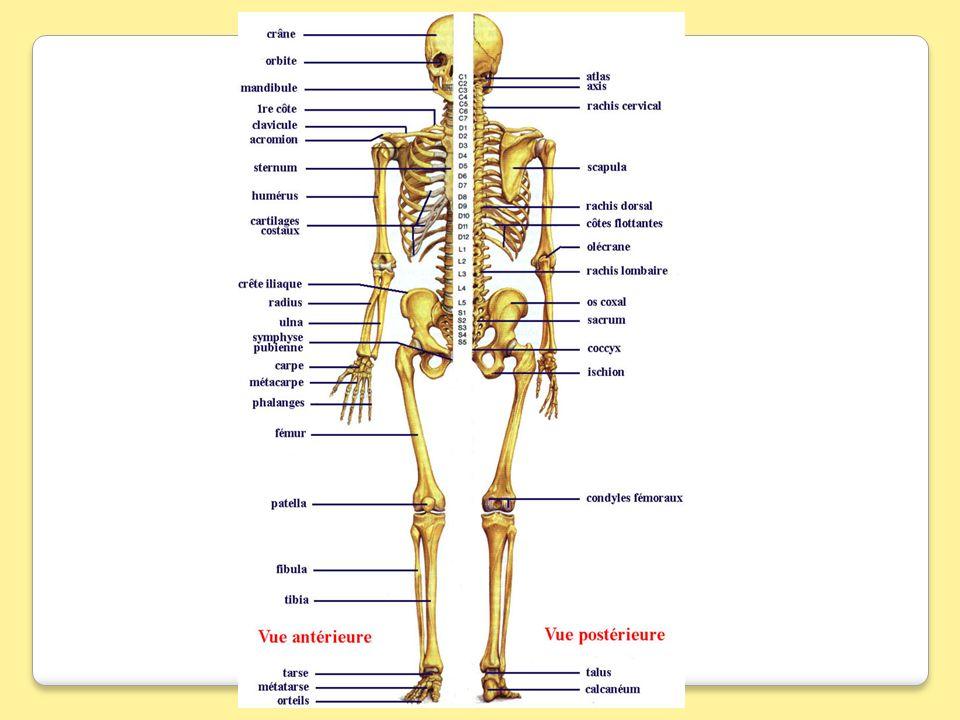 LE PERONE 2-Anatomie déscriptive:la fibula présente a décrire: Un épiphyse proximale cest la tête de la fibula.