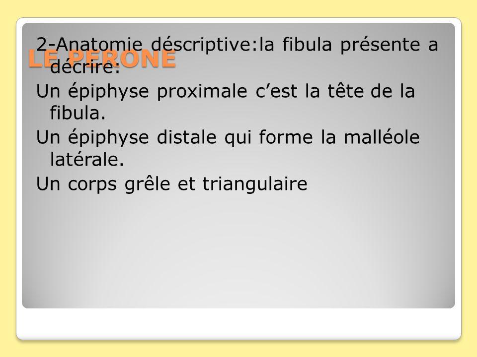 LE PERONE 2-Anatomie déscriptive:la fibula présente a décrire: Un épiphyse proximale cest la tête de la fibula. Un épiphyse distale qui forme la mallé