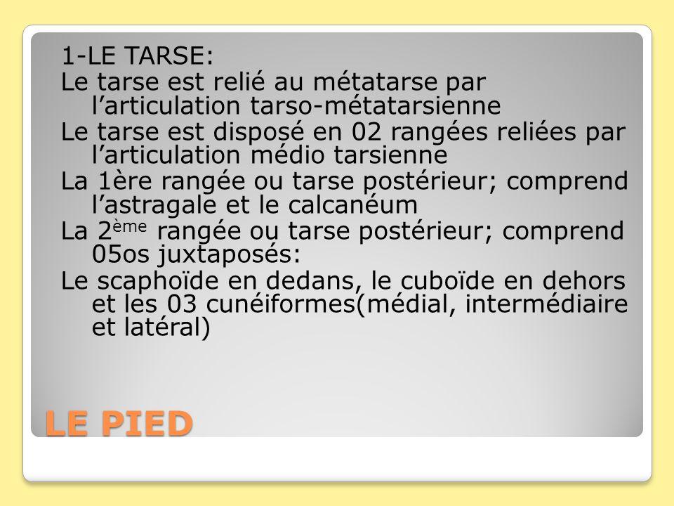 LE PIED 1-LE TARSE: Le tarse est relié au métatarse par larticulation tarso-métatarsienne Le tarse est disposé en 02 rangées reliées par larticulation