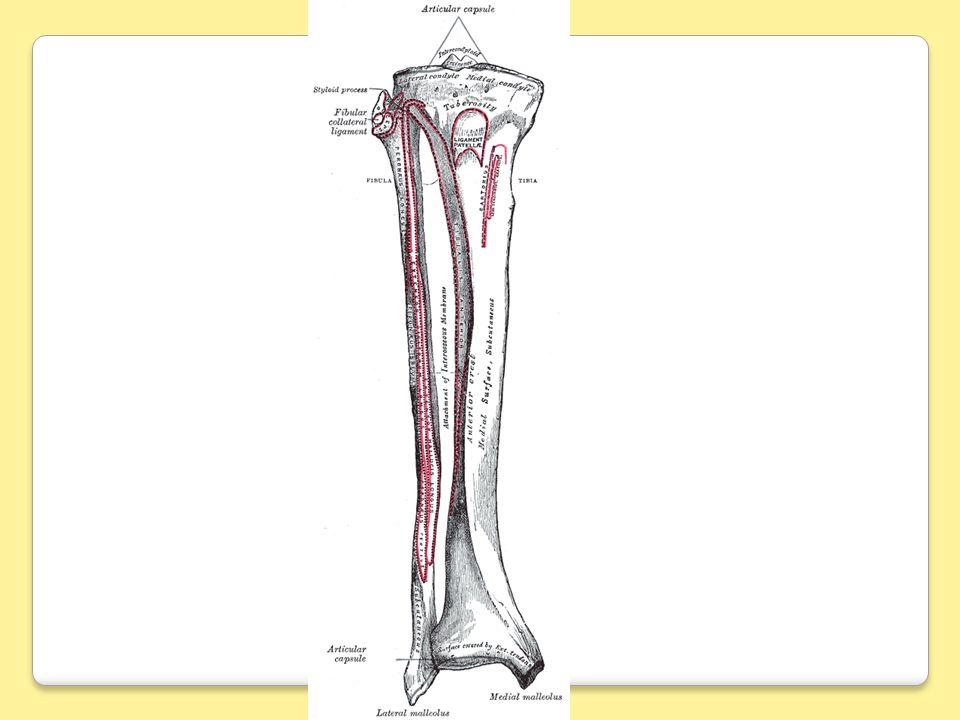 Le tibia est los principal de la jambe.il est situé en avant et en dedans par rapport au péroné.