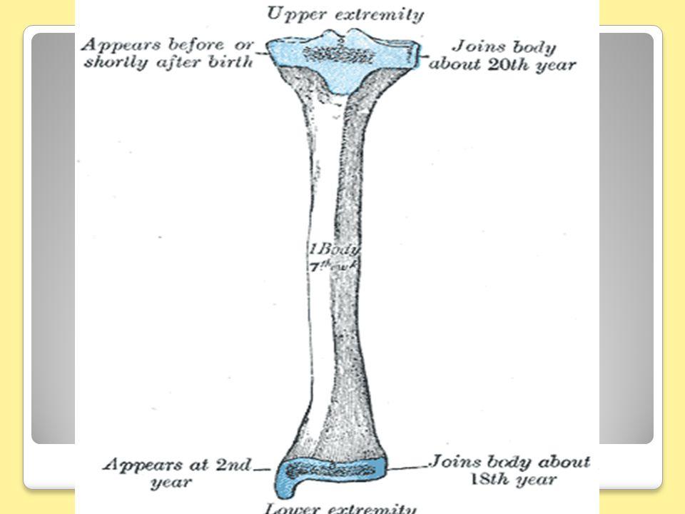 LE TIBIA 2-Anatomie descriptive: Le corps: est triangulaire,et présente trois faces et trois bords.