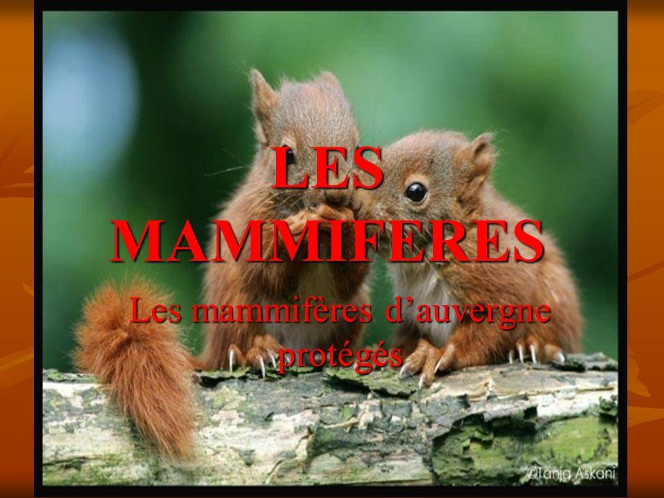 LES MAMMIFERES Les mammifères dauvergne protégés