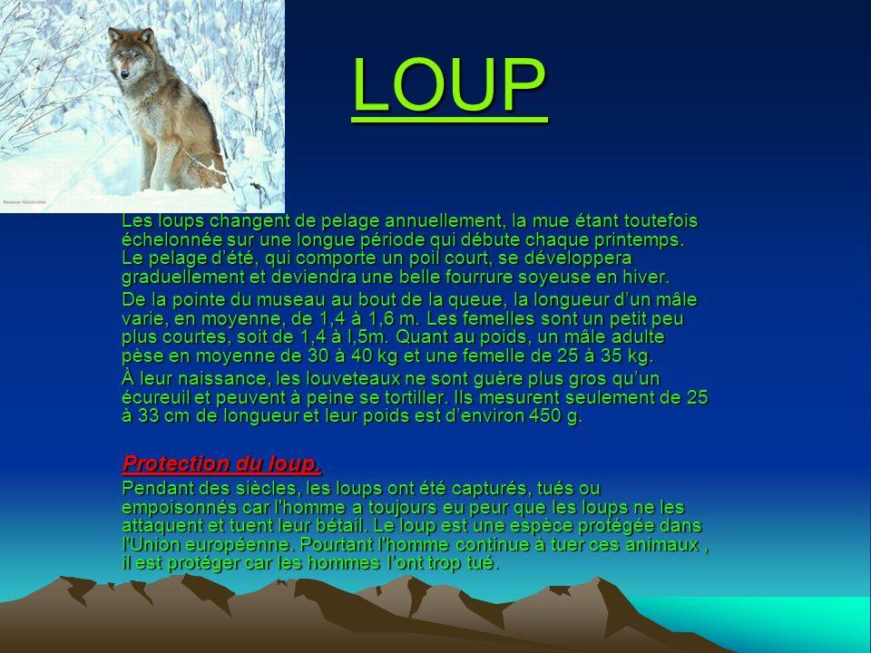 LOUP Les loups changent de pelage annuellement, la mue étant toutefois échelonnée sur une longue période qui débute chaque printemps. Le pelage dété,