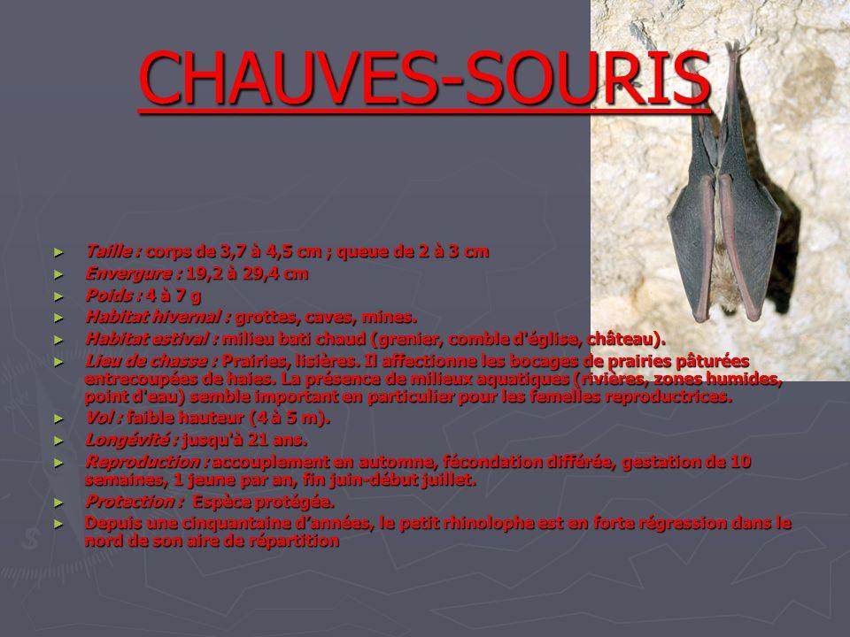 CHAUVES-SOURIS Taille : corps de 3,7 à 4,5 cm ; queue de 2 à 3 cm Taille : corps de 3,7 à 4,5 cm ; queue de 2 à 3 cm Envergure : 19,2 à 29,4 cm Enverg