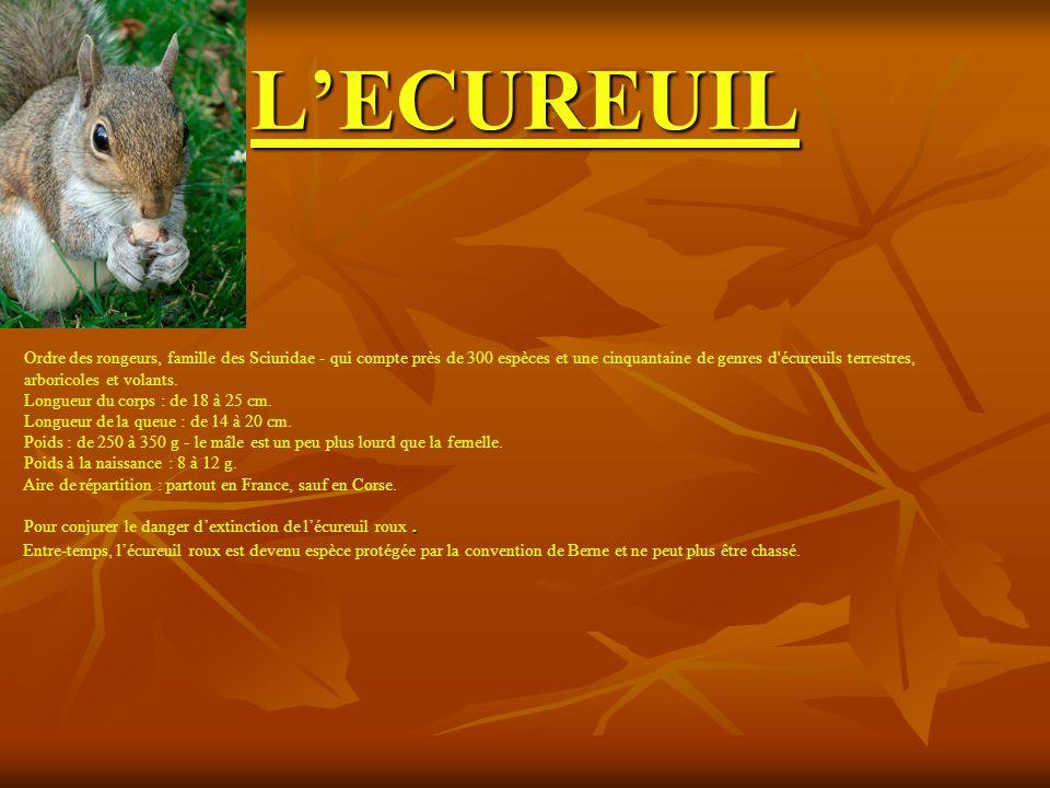 LECUREUIL Ordre des rongeurs, famille des Sciuridae - qui compte près de 300 espèces et une cinquantaine de genres d'écureuils terrestres, arboricoles