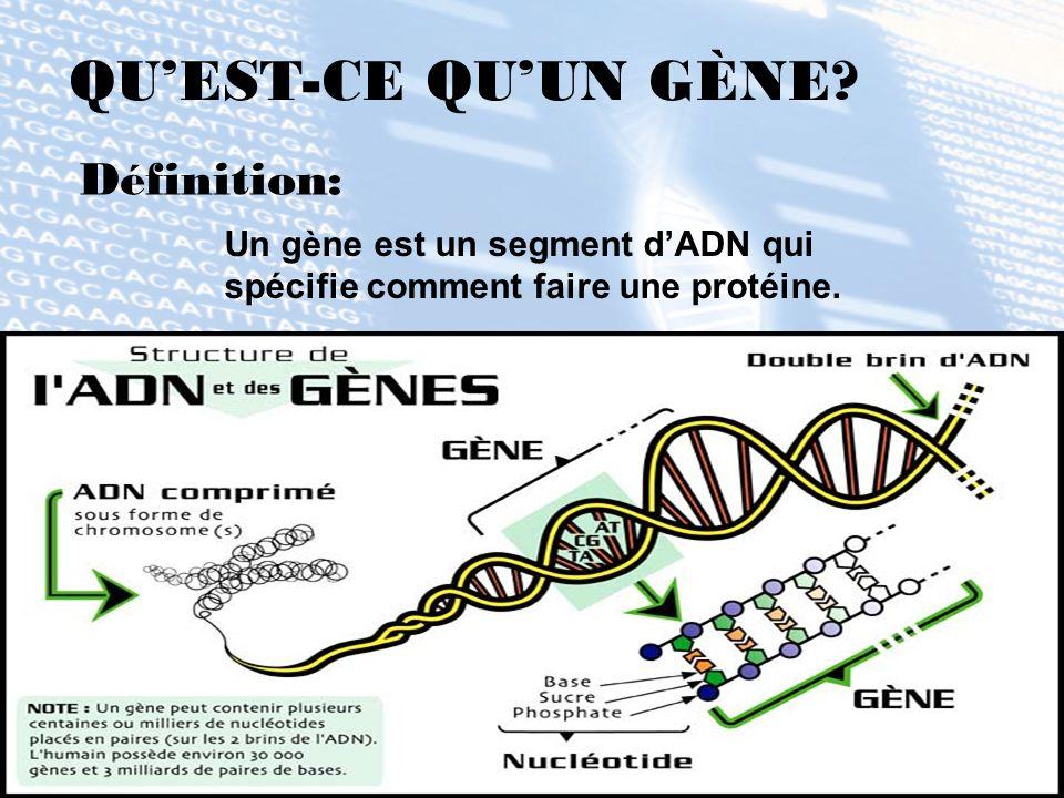 QUEST-CE QUUN GÈNE? Définition: Un gène est un segment dADN qui spécifie comment faire une protéine.