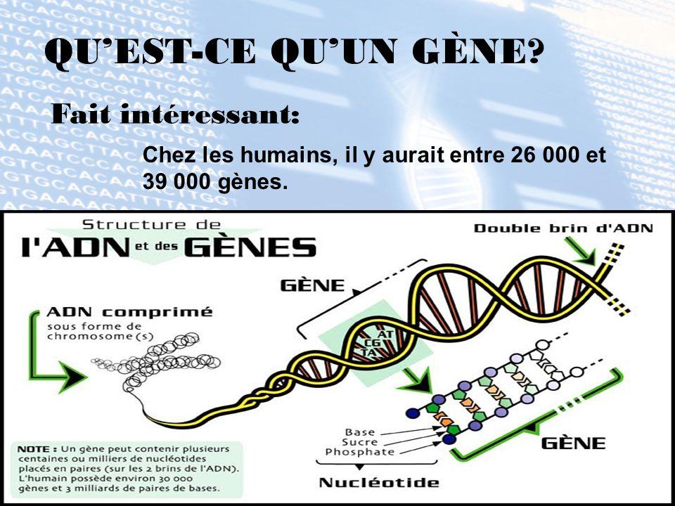 QUEST-CE QUUN GÈNE? Chez les humains, il y aurait entre 26 000 et 39 000 gènes. Fait intéressant: