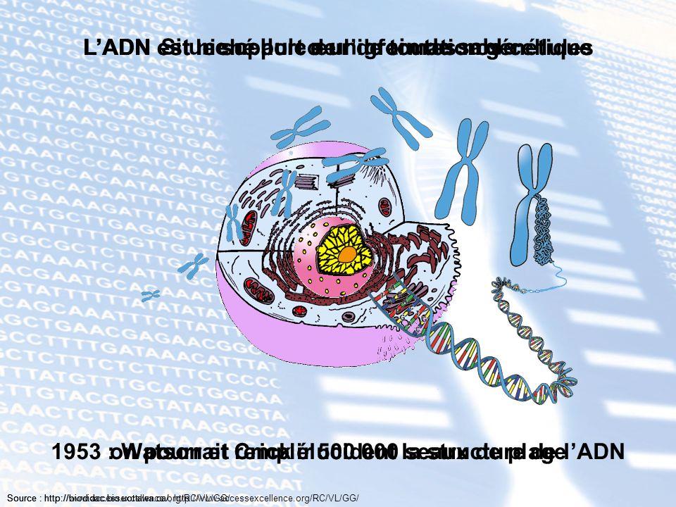LADN est niché au cœur de toutes nos cellulesLADN est le support de linformation génétique 1953 : Watson et Crick élucident la structure de lADN Si un
