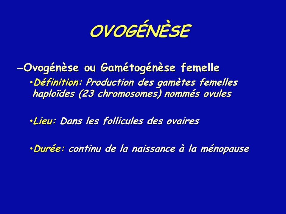 – Ovogénèse ou Gamétogénèse femelle Définition: Production des gamètes femelles haploïdes (23 chromosomes) nommés ovules Définition: Production des ga