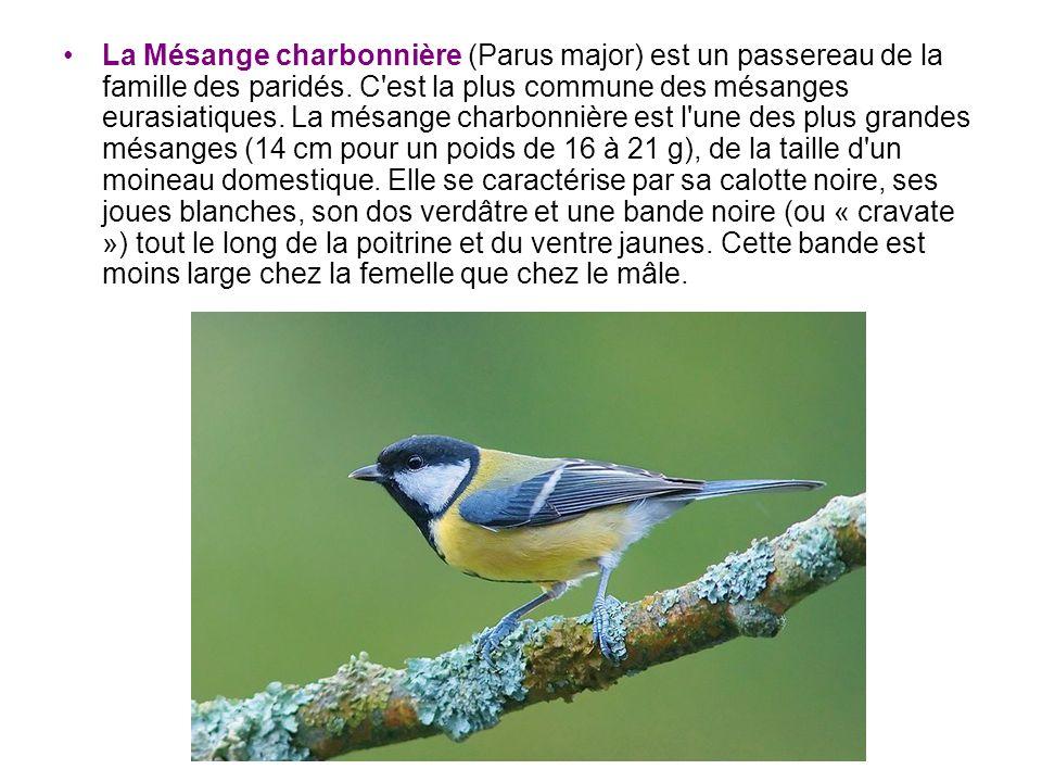 La Mésange charbonnière (Parus major) est un passereau de la famille des paridés. C'est la plus commune des mésanges eurasiatiques. La mésange charbon