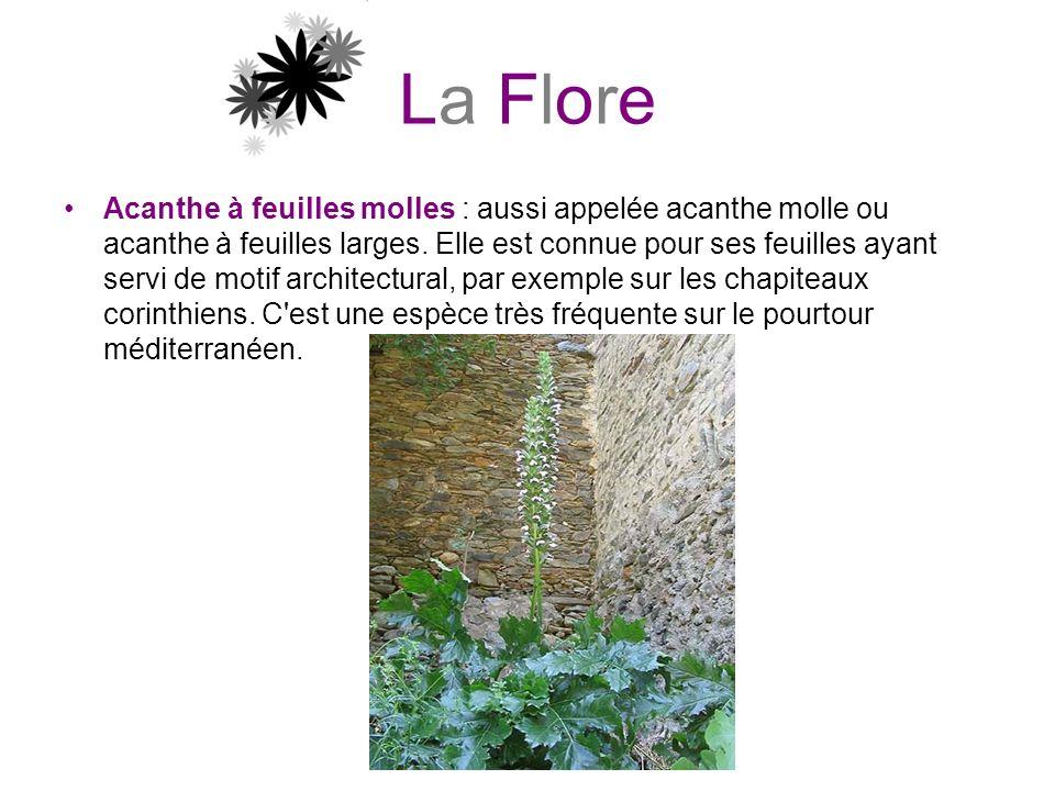 La Flore Acanthe à feuilles molles : aussi appelée acanthe molle ou acanthe à feuilles larges. Elle est connue pour ses feuilles ayant servi de motif