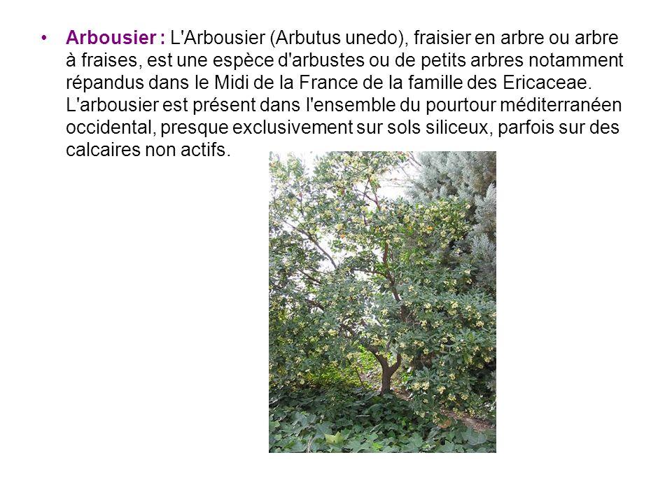 Arbousier : L'Arbousier (Arbutus unedo), fraisier en arbre ou arbre à fraises, est une espèce d'arbustes ou de petits arbres notamment répandus dans l