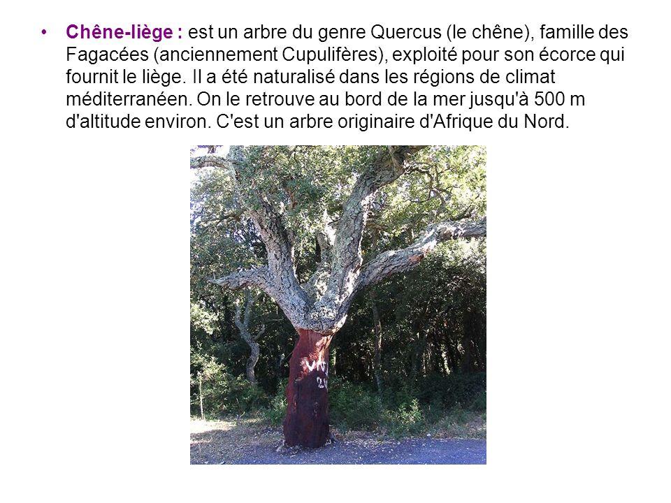 Chêne-liège : est un arbre du genre Quercus (le chêne), famille des Fagacées (anciennement Cupulifères), exploité pour son écorce qui fournit le liège