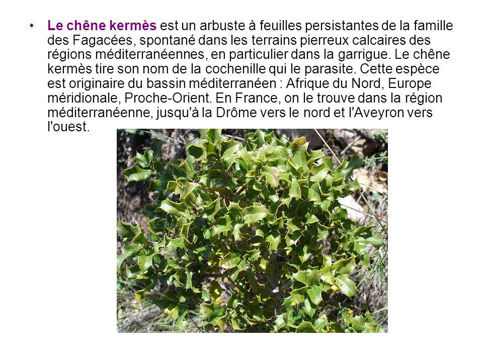 Le chêne kermès est un arbuste à feuilles persistantes de la famille des Fagacées, spontané dans les terrains pierreux calcaires des régions méditerra