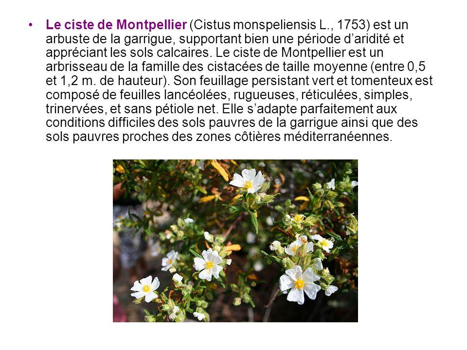 Le ciste de Montpellier (Cistus monspeliensis L., 1753) est un arbuste de la garrigue, supportant bien une période daridité et appréciant les sols cal