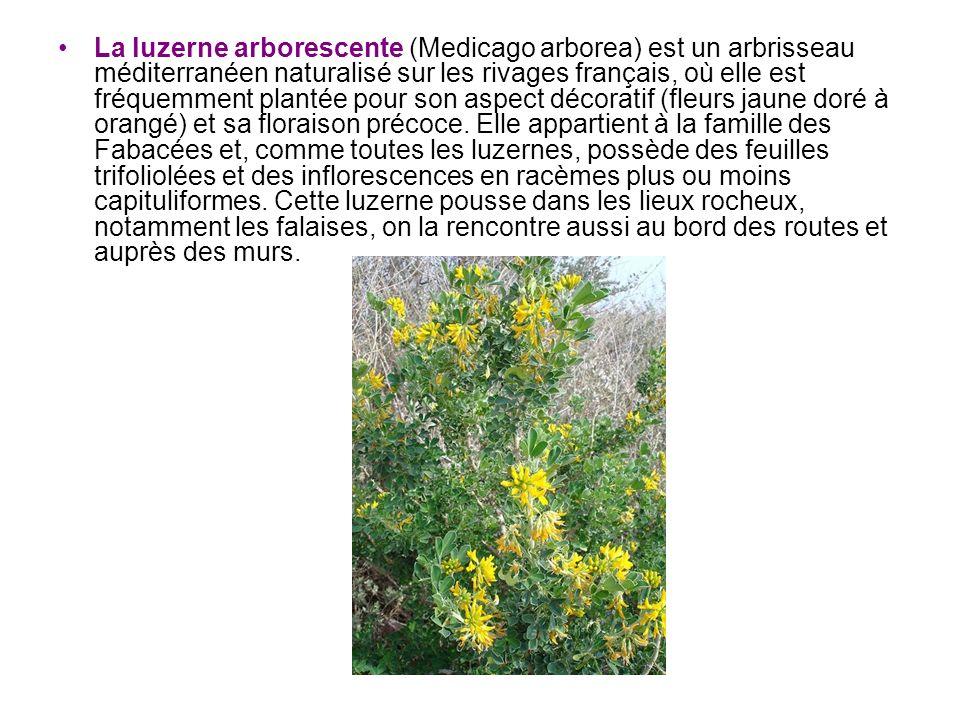 La luzerne arborescente (Medicago arborea) est un arbrisseau méditerranéen naturalisé sur les rivages français, où elle est fréquemment plantée pour s