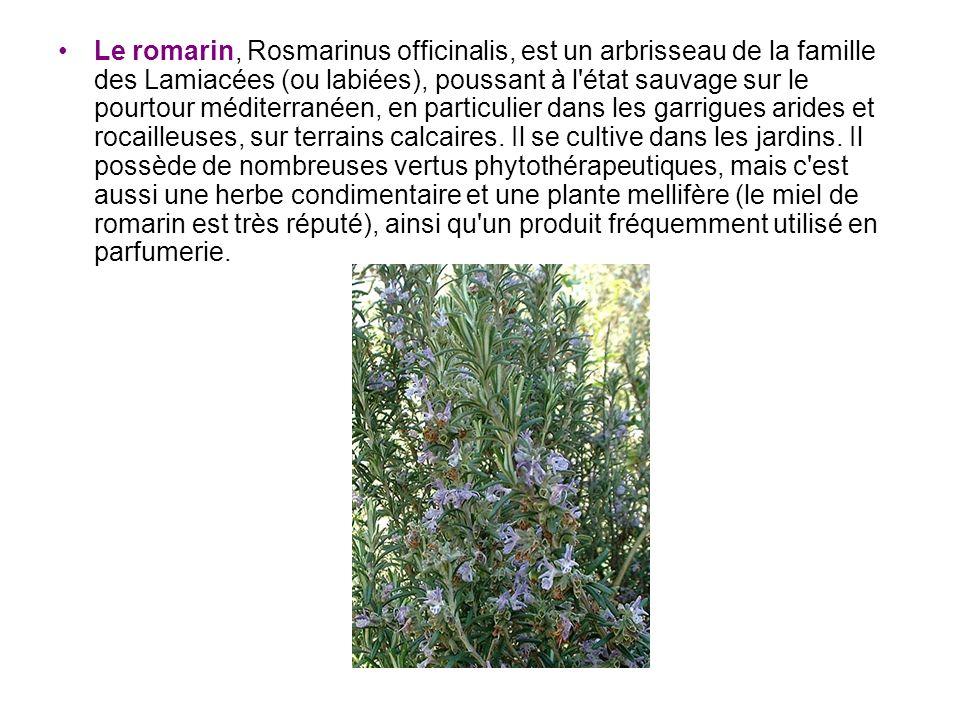 Le romarin, Rosmarinus officinalis, est un arbrisseau de la famille des Lamiacées (ou labiées), poussant à l'état sauvage sur le pourtour méditerranée