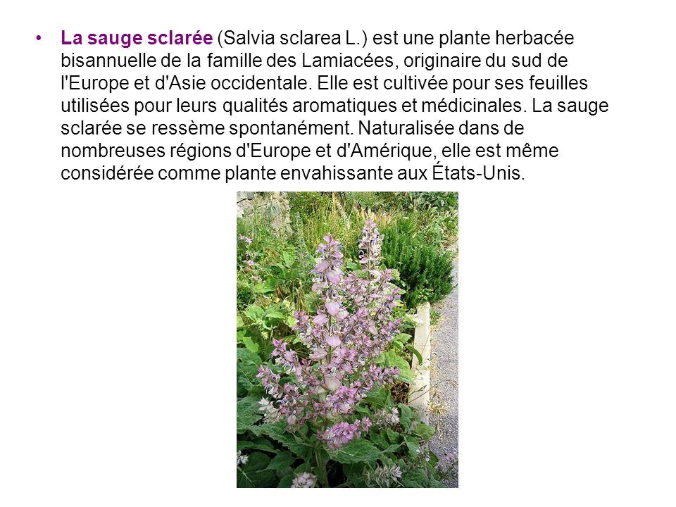 La sauge sclarée (Salvia sclarea L.) est une plante herbacée bisannuelle de la famille des Lamiacées, originaire du sud de l'Europe et d'Asie occident