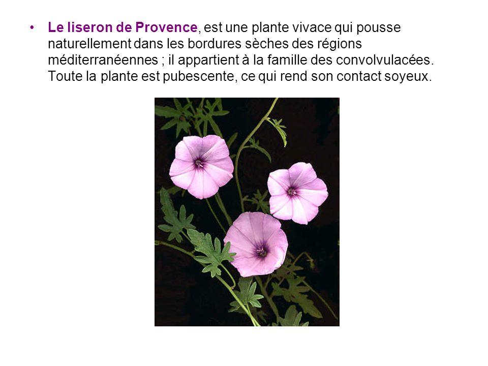 Le liseron de Provence, est une plante vivace qui pousse naturellement dans les bordures sèches des régions méditerranéennes ; il appartient à la fami