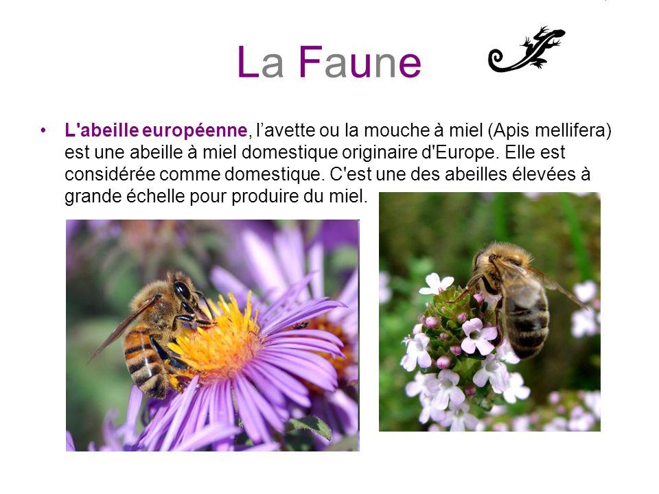 La Faune L'abeille européenne, lavette ou la mouche à miel (Apis mellifera) est une abeille à miel domestique originaire d'Europe. Elle est considérée