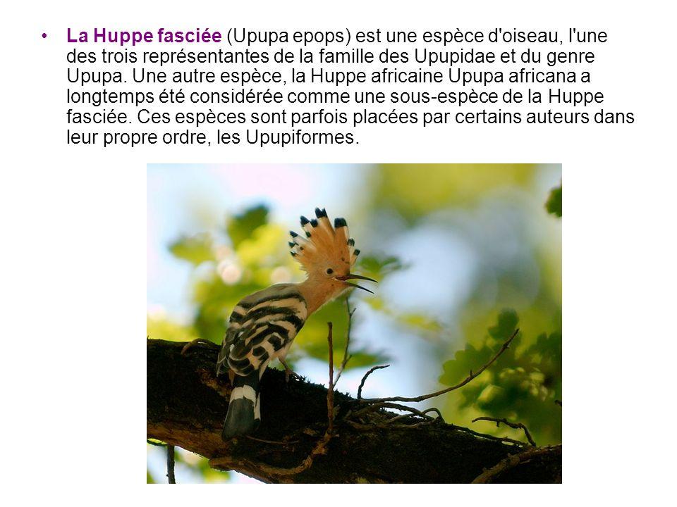 La Huppe fasciée (Upupa epops) est une espèce d'oiseau, l'une des trois représentantes de la famille des Upupidae et du genre Upupa. Une autre espèce,