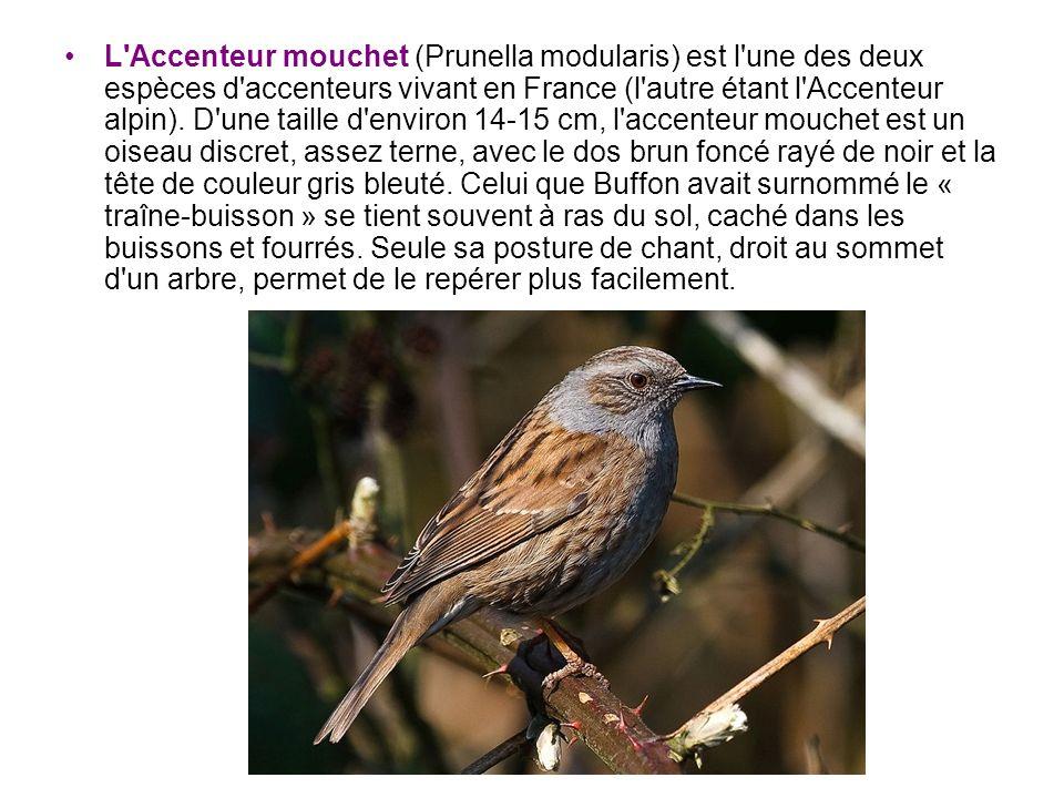 L'Accenteur mouchet (Prunella modularis) est l'une des deux espèces d'accenteurs vivant en France (l'autre étant l'Accenteur alpin). D'une taille d'en