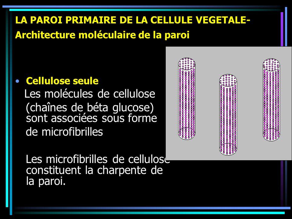 LA PAROI PRIMAIRE DE LA CELLULE VEGETALE- Architecture moléculaire de la paroi Cellulose seule Les molécules de cellulose (chaînes de béta glucose) so