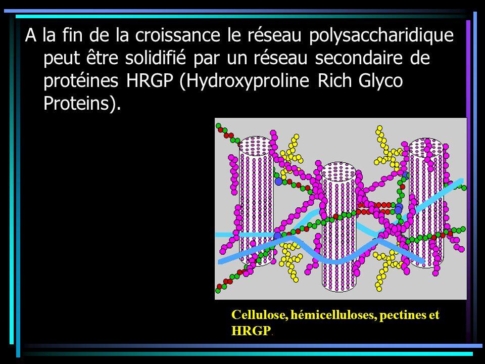 A la fin de la croissance le réseau polysaccharidique peut être solidifié par un réseau secondaire de protéines HRGP (Hydroxyproline Rich Glyco Protei