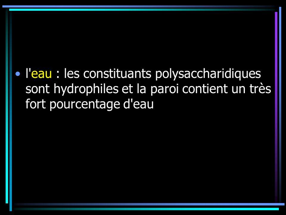 l'eau : les constituants polysaccharidiques sont hydrophiles et la paroi contient un très fort pourcentage d'eau