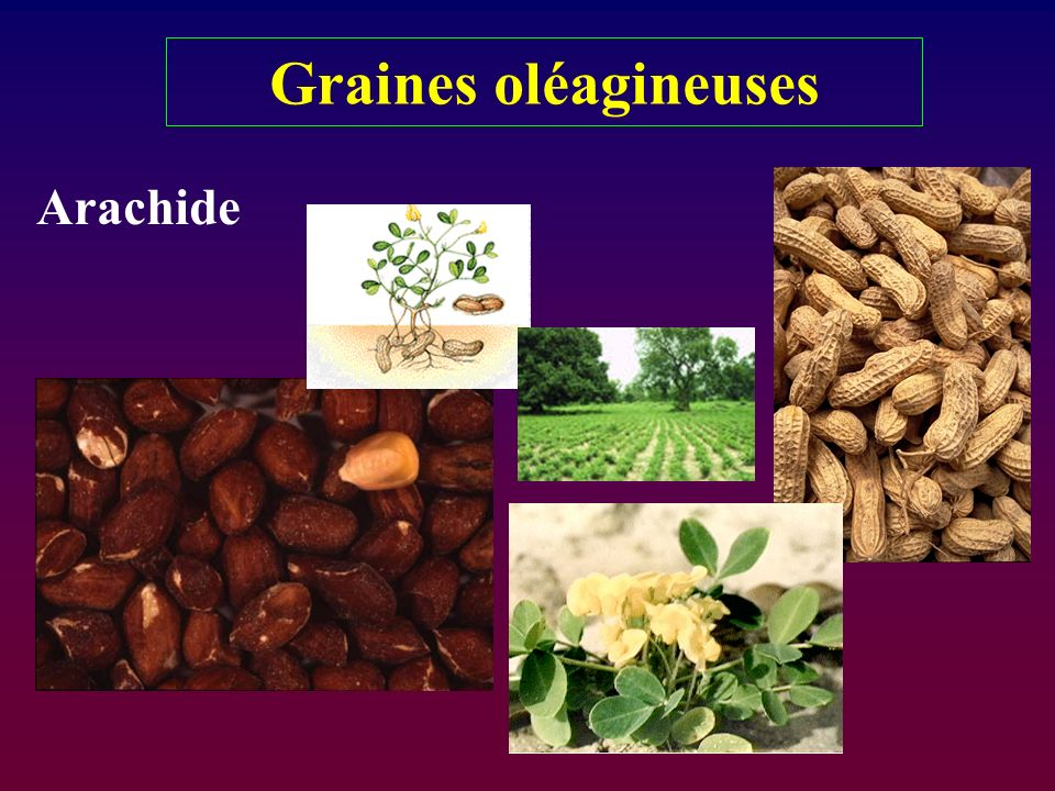 Graines oléagineuses Arachide