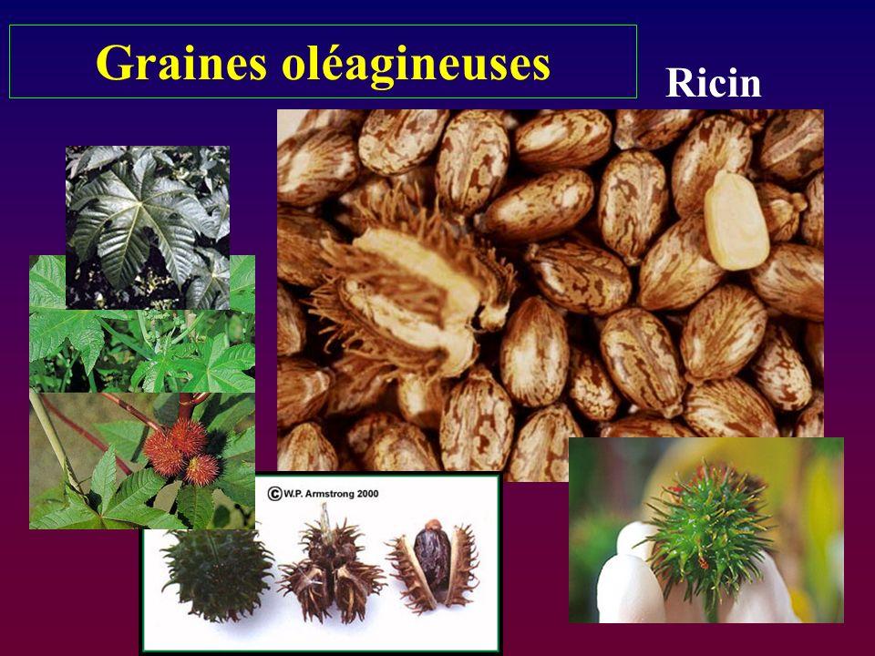 Graines oléagineuses Ricin