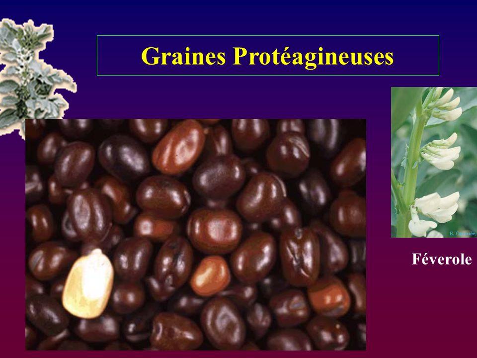 Graines Protéagineuses Féverole