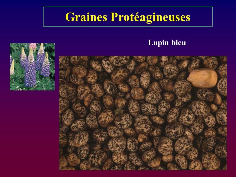 Graines Protéagineuses Lupin bleu