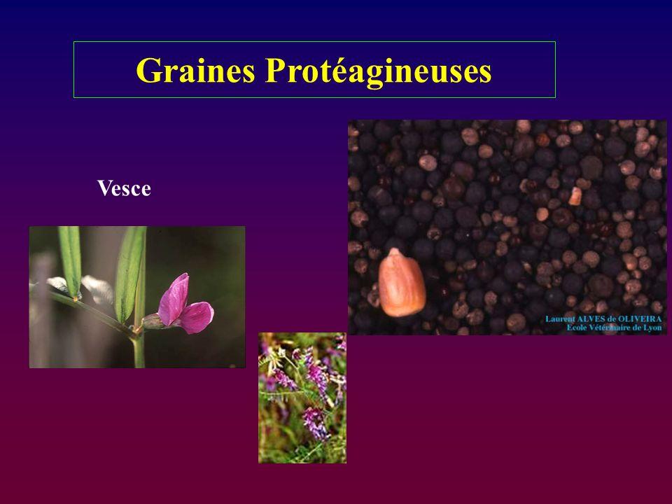 Graines Protéagineuses Vesce