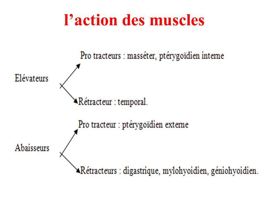 laction des muscles