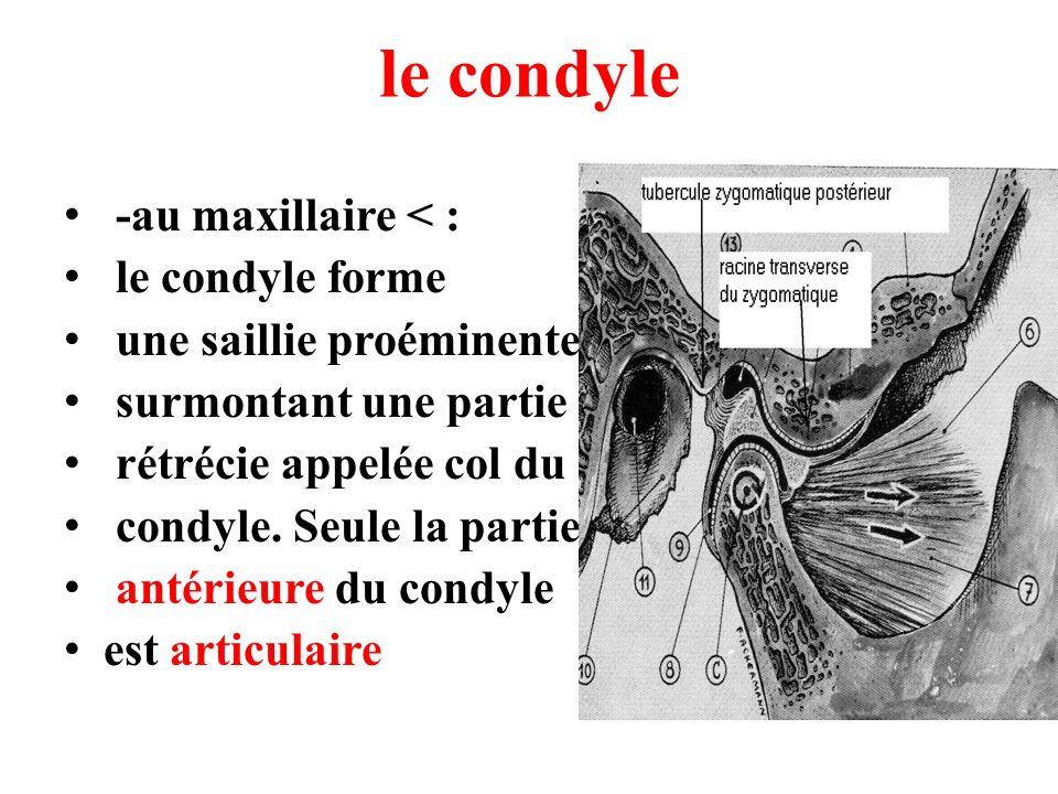le condyle -au maxillaire < : le condyle forme une saillie proéminente surmontant une partie rétrécie appelée col du condyle. Seule la partie antérieu